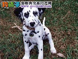 家养多只常州斑点狗宝宝出售中可刷卡可视频