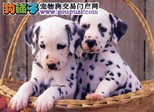 朔州正规犬舍高品质斑点狗带证书签订协议包细小犬瘟热