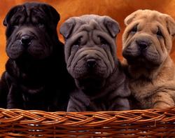 顶级优秀的纯种重庆沙皮狗热销中签订协议终身质保
