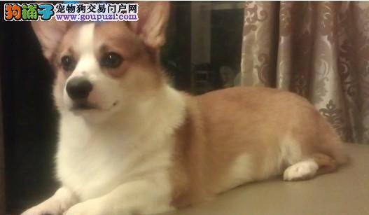 大型专业培育柯基幼犬包健康微信咨询看狗狗照片