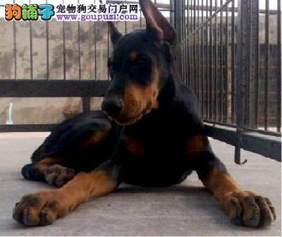 公母均有的杜宾犬找爸爸妈妈全国十佳犬舍