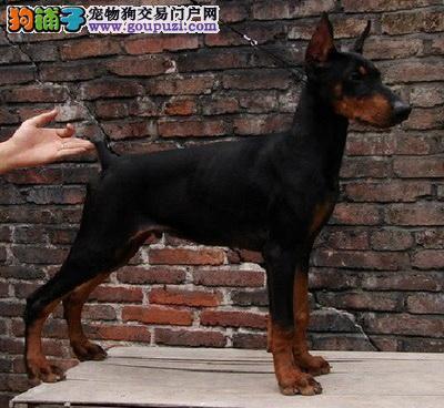 正宗极品郑州杜宾犬绝对血统纯正送用品送狗粮