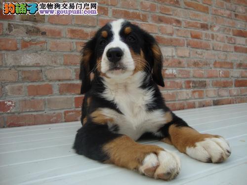 纯血统伯恩山幼犬,血统认证保健康,可签保障协议