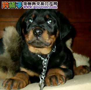 正规狗场/纯种罗威纳犬幼犬宝宝出售/ 品相极佳