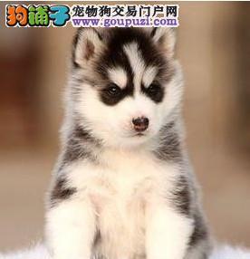 哈士奇幼犬热销中,可看狗狗父母照片,喜欢加微信