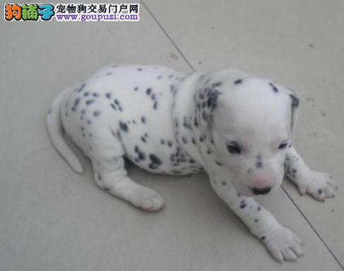 纯种斑点狗幼犬 血统纯正包品质 签署合同质保