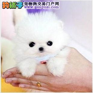 出售纯种健康的长沙茶杯犬幼犬专业品质一流