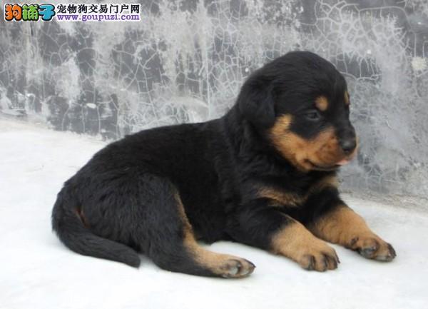 成都罗威纳宠物狗买卖 纯种健康罗威纳犬价钱
