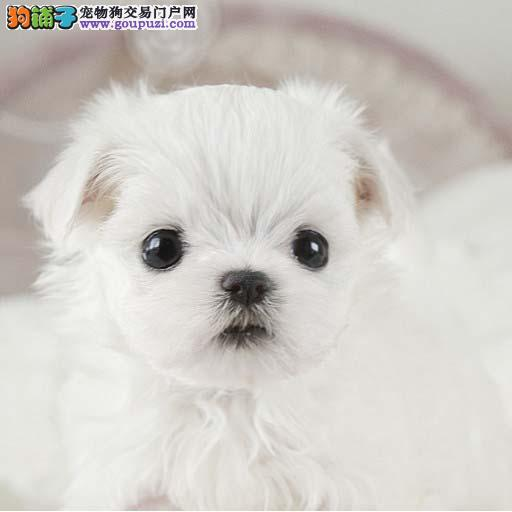 漂亮的马尔济斯纯种马尔济斯幼犬纯种健康保证