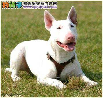 牛头梗幼犬出售哪里出售纯种牛头梗包纯包健康