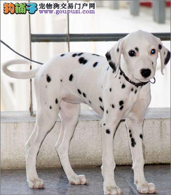 冠军级后代斑点狗 公母均有多只选择 签署合同质保
