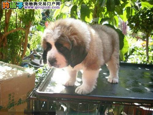 家养式养殖出售圣伯纳宝宝犬