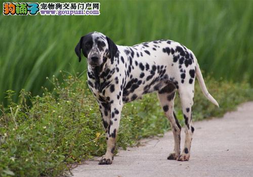权威机构认证犬舍 专业培育斑点狗幼犬金牌店铺有保障