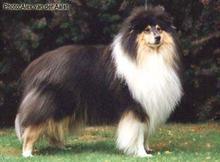纯种顶级黄白色苏格兰牧羊犬