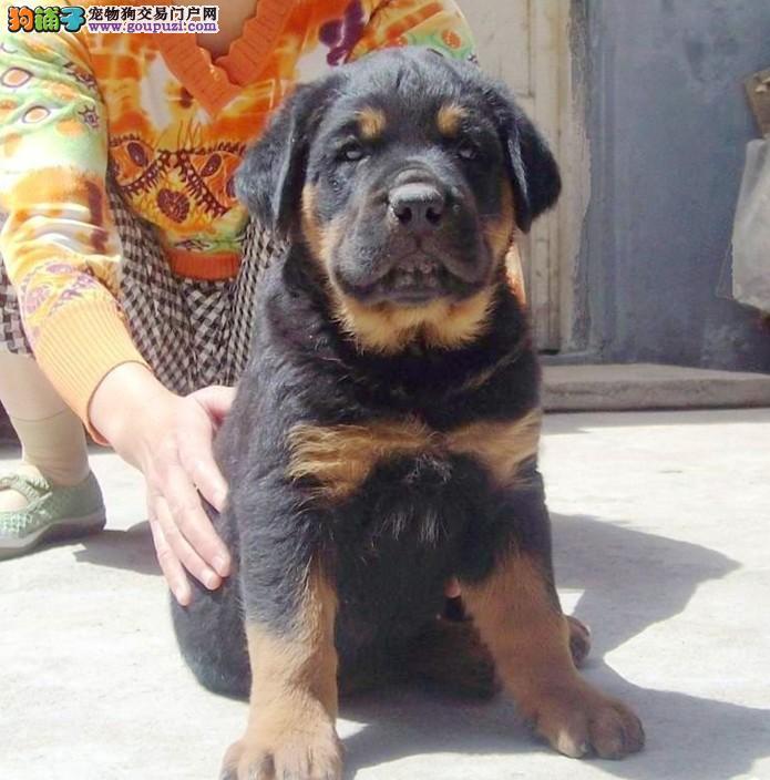 上海罗威纳忠诚护主的神犬罗威那接受新主人的挑选