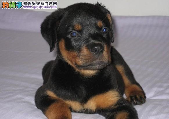 深圳宠物狗繁殖出售罗威纳犬