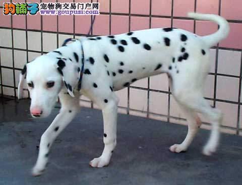 CKU犬舍认证出售高品质呼伦贝尔斑点狗包养活送用品