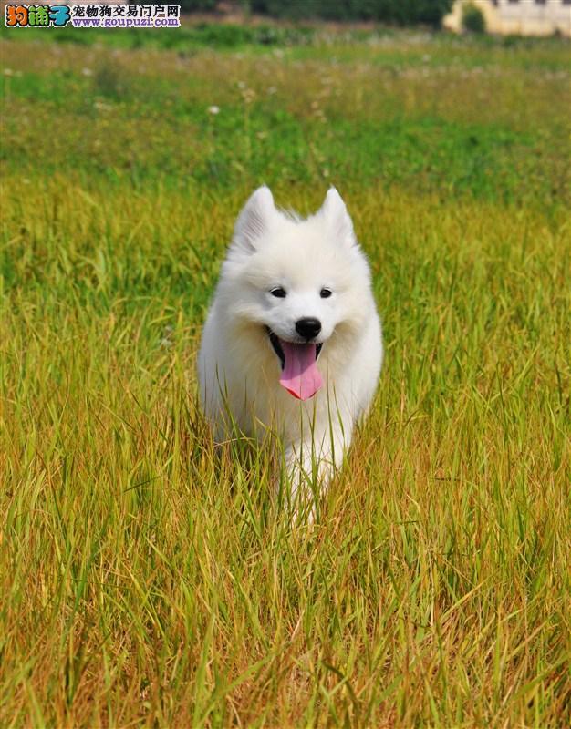专业繁殖高品质萨摩耶幼犬 南京的朋友可以来狗场看狗