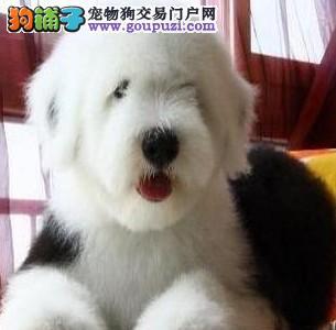 狗场直销纯种古牧 健康保证 可视频看狗