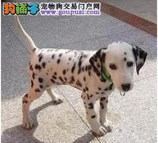 国际注册犬舍 出售极品赛级斑点狗幼犬冠军级血统品质保障