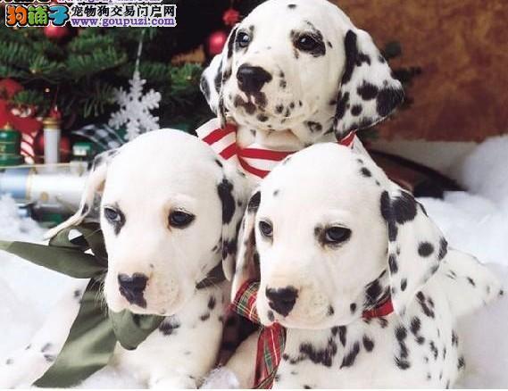 出售斑点狗幼犬,公母都有纯种健康,签协议可送货
