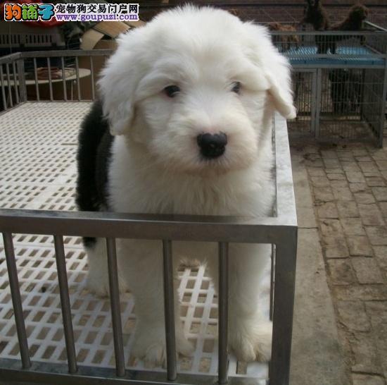 国际注册犬舍 出售极品赛级古代牧羊犬幼犬提供护养指导
