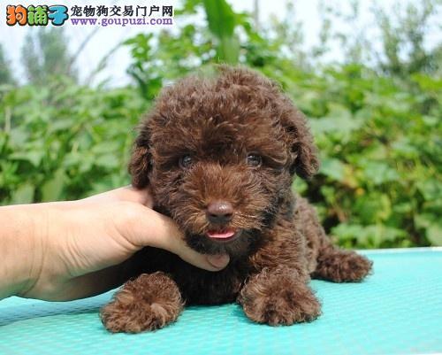 茶杯犬幼犬热销中 CKU认证犬舍 可签保障协议