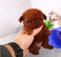 16X16厘米韩国进口小茶杯犬泰迪父母都是韩国茶杯犬
