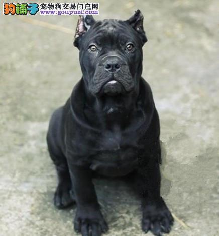 热销多只优秀的纯种卡斯罗犬幼犬市内免费送货