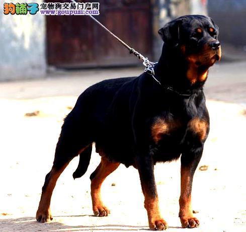 护卫犬精英罗威纳 唐山出售纯种罗威纳 欢迎来询