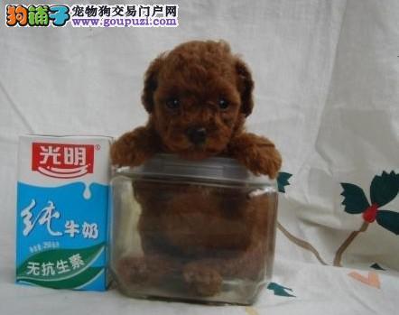 贵族纯正茶杯犬 纯度第一价位最低 可送货上门