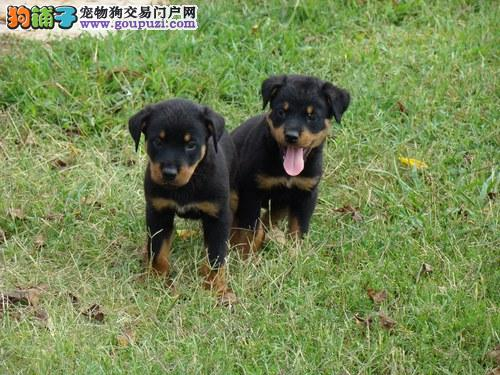出售大头罗威纳幼犬 公母都有 保证健康