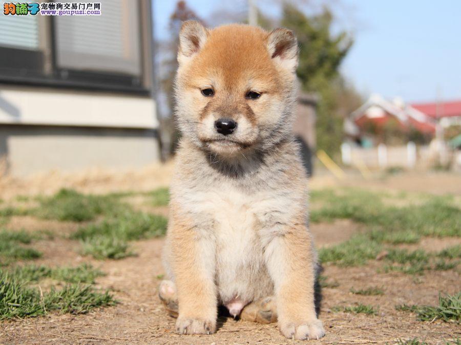 西安自家养殖纯种柴犬低价出售西安当地上门挑选