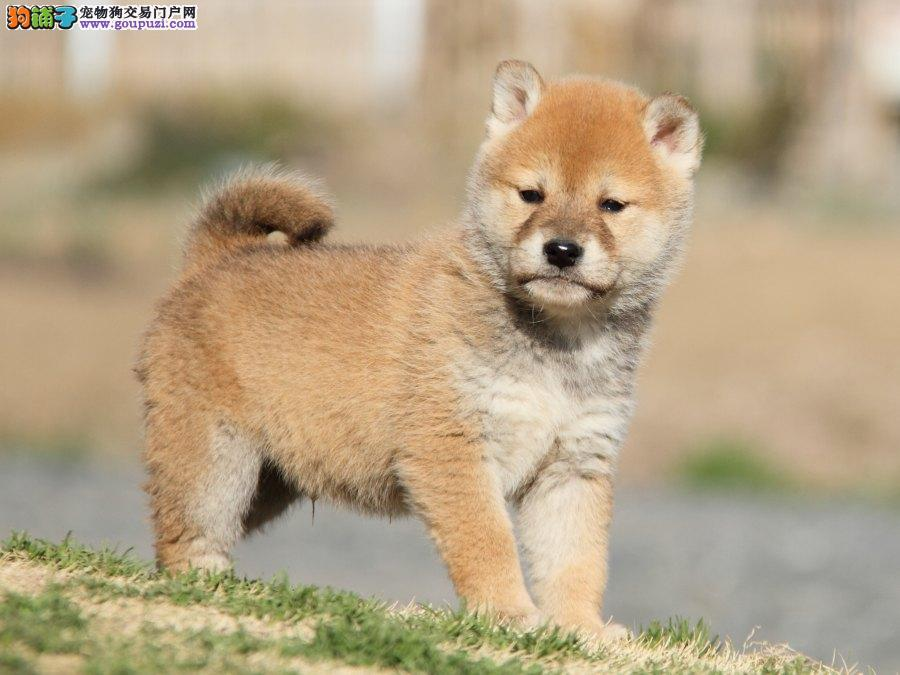 松原出售柴犬幼犬品质好有保障松原周边免费送货