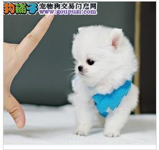 自家狗场繁殖直销茶杯犬幼犬价格低廉品质高