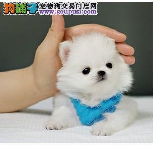 CKU认证犬舍 专业出售极品 茶杯犬幼犬签订终身协议