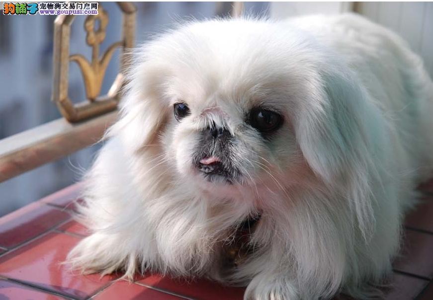 自家繁殖 纯种宫廷京巴幼犬 品相好保健康 质保3年