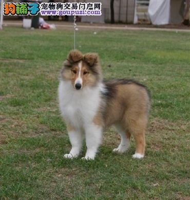CKU认证犬舍—实物拍摄—苏牧幼犬—终身质保