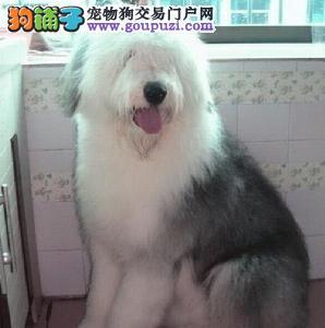 天津自家狗场繁殖直销古代牧羊犬幼犬微信看狗可见父母