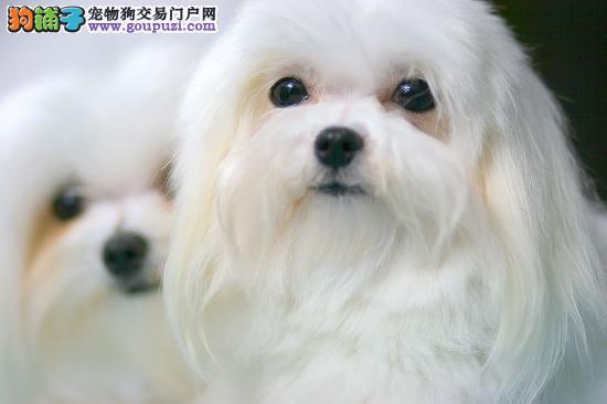 马尔济斯幼犬 大眼睛苹果脸犬舍繁殖 选择多
