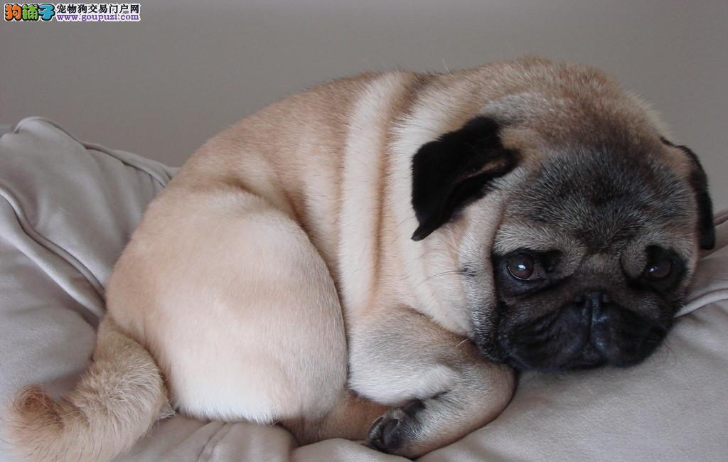 出售纯种巴哥幼犬 健康保证 信誉保证 诚信保证