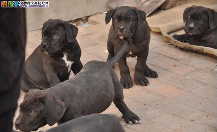 犬业出售极品卡斯罗幼犬品相极佳血统纯正