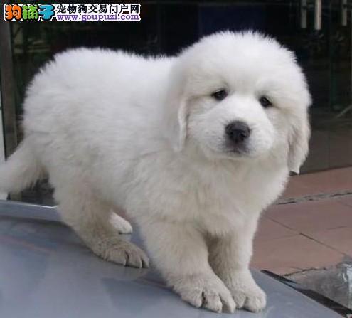 超可爱保健康大白熊宝宝出售