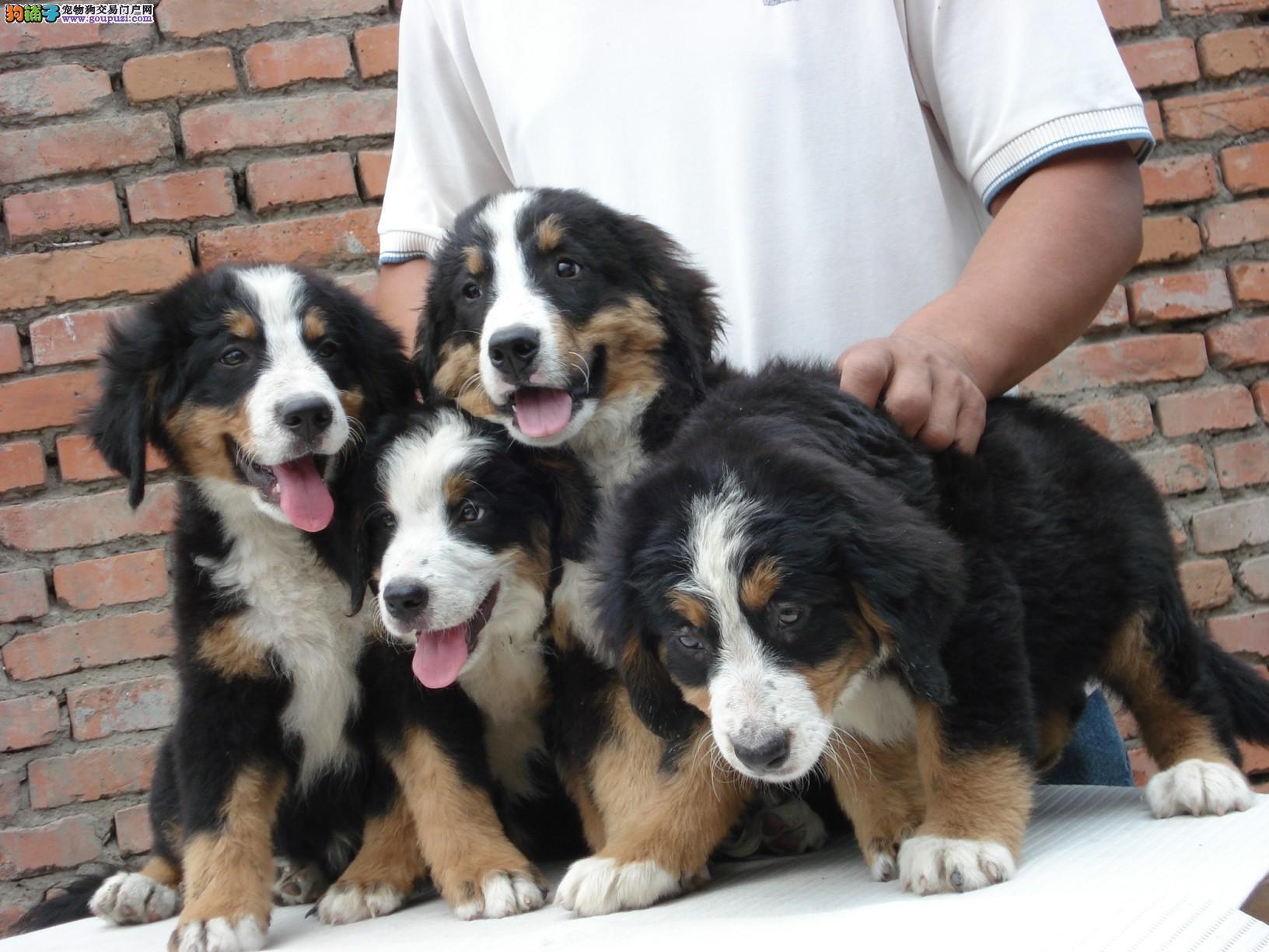 犬业专业繁殖伯恩山宝宝绝对信誉
