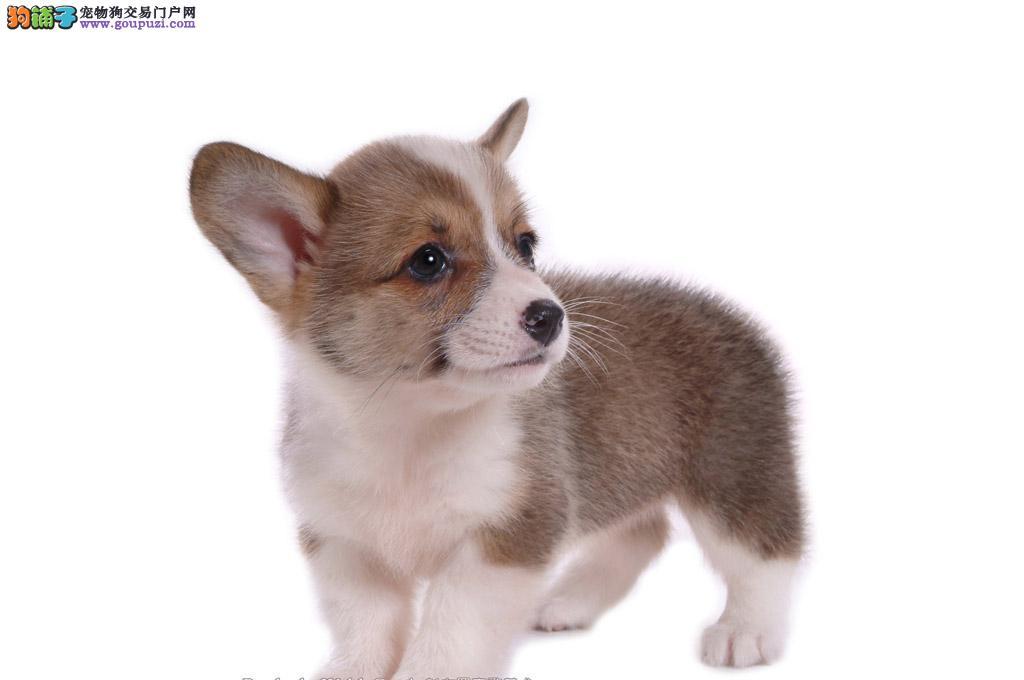 神犬出售柯基犬存活包您一个月包健康包品相