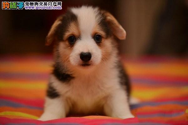 世界上智商第一的柯基犬幼犬宝宝 出售