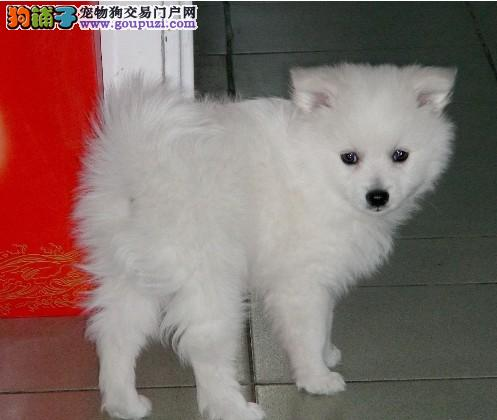 定西热卖银狐犬多只挑选视频看狗真实照片包纯