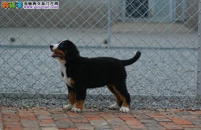 赛级伯恩山幼犬、假一赔十质量保障、签订正规合同