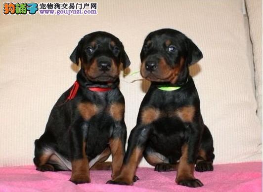 高品质杜宾犬幼犬,专业繁殖包质量,全国送货上门