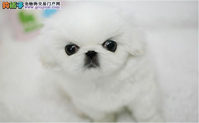 纯种京巴幼犬、自家繁殖保健康、签协议可送货